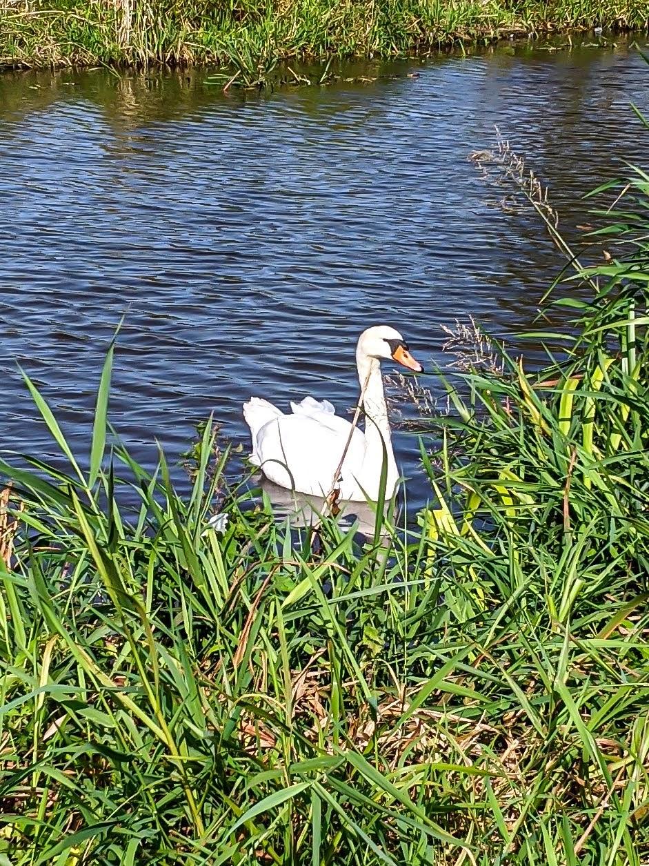 One swan swimming.